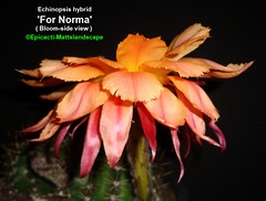 Echinopsis hybrid 'For Norma' ( Bloom pic #4 side view ) (mattslandscape) Tags: for norma echinopsis cactus cactusblooms cacti cactusflowers cactiblooms kakteen bobschick hybrid hybride orange flower floweringcactus flickrechinopsisbloomgroup bloom blooms bloomingcactus bloompictures lewis crasulady gold golden