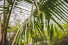Beyond the palm (tuvaloland) Tags: canoneos6d photography sigmalens palms palmtree green plant nature tropical exotic thailand