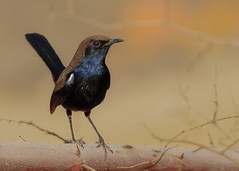 Indian Robin (male) (S. Saqib Shams-II) Tags: robin indian male bird aviary wildlife pakistan karachi