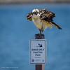 Birder Beware (halladaybill) Tags: bolsachicaecologicalreserve female osprey huntingtonbeach california unitedstates us hawk seahawk seaandsageaudubonsociety auduboncalifornia cornelllabofornithology newportbayconservancy nikond850 nikkor200500zoom raptor