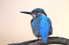 MRC_9149 Kingfisher / Martin Pescador (Obsies) Tags: kingfisher martinpescador d5 nikond5 200400vr 200400mm bird aves alcedoatthis eisvogel