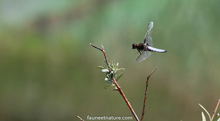 Libellule avec une mouche dans la bouche