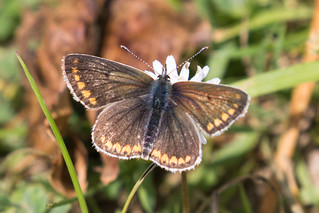 Common Blue (f) or Brown Argus