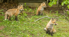 IMGL1315 Pugwash Red Fox Kit(s) (Wallace River) Tags: foxes novascotia pugwashfoxes redfoxes