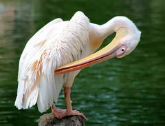Posing pelican (ᙢᗩᖇᓰᗩ ☼ Xᕮᘉ〇Ụ) Tags: nature natur pelikan lake see pose details bird vogel wasser water wildlife πελεκανοσ φυση λιμνη νερο light colours detail texture feathers ομορφια waterbird wasservogel majesticpelican
