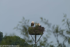 """""""Stork with her 3 chicks"""" (Fred / Canon 70D) Tags: klarenbeek gelderland stork chicks birds sigma sigma18300mmf3563dcmacrooshsmc canon canon70d canoneos"""