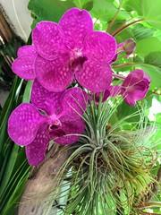 The top of my airplants tree is blooming again 🙌💖 Vanda orchid (Dušan Baksa) Tags: orchid vanda tillandsia