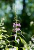 Fireweed (411 Operator) Tags: fireweed fire weed purple green britishcolumbia canada