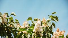 24.05.2018 (Fregoli Cotard) Tags: 144365 144of365 bez flower lilac whitelilac liliac bloom fullbloom summerflowers springflowers floral floralinspo blossom mayinbloom endofspring dailyjournal dailyphotography dailyproject dailyphoto dailyphotograph dailychallenge everyday everydayphoto everydayphotography everydayjournal aphotoeveryday 365everyday 365daily 365 365dailyproject 365dailyphoto 365dailyphotography 365project 365photoproject 365photography 365photos 365photochallenge 365challenge photodiary photojournal photographicaljournal visualjournal visualdiary