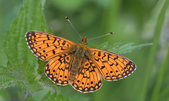 Small pearl-bordered fritillary (KHR Images) Tags: smallpearlborderedfritillary boloriaselene butterfly forestofdean wingsopen topdownview above insect macro wildlife nature gloucestershire nikon d500 105mm kevinrobson khrimages