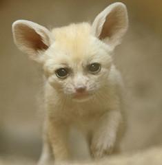 Fennec artis JN6A4778 (j.a.kok) Tags: fox vos woestijnvos dessertfox fennek fennecfoxfennecuszerdavulpeszerdavulpes artis animal mammal zoogdier dier predator africa afrika