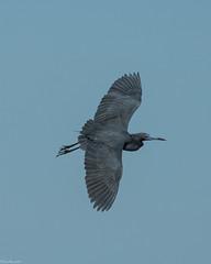 Little Blue Heron [Egretta caerulea] (Fred Roe) Tags: nikond810 nikkorafs80400mmf4556ged nikonafsteleconvertertc14eii nature wildlife heron birds birding birdwatching birdwatcher birdinflight littleblueheron egrettacaerulea