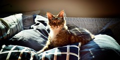 """""""I am the center of the cushions-universe"""" (PURIFM) Tags: cat pet cute nikon"""