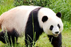 Großer Panda - Zoologischer Garten Berlin (01) (Stefan_68) Tags: deutschland germany berlin zoologischergartenberlin zoo tierpark tiergarten säugetier bär bear pandabär riesenpanda giantpanda pandabear ailuropodamelanoleuca pandagigante osopanda oso