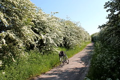 Hawthorn splendour, Nottinghamshire. (m_c_b) Tags: nottinghamshire vicarwatercountrypark mansfield