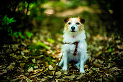 Mountain Path (moaan) Tags: kobe hyogo japan jp dog jackrussellterrier kinoko portrait dogportrait sitting exploring path mountain woods forest dof focusonforeground selectivefocus bokeh bokehphotography leica leicamp type240 noctilux 50mm f10 leicanoctilux50mmf10
