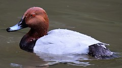 Pochard (doranstacey) Tags: nature wildlife birds waterbirds pochard rufford countrypark colourful tamron 150600mm nikon d5300 ponds lakes