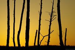 Łysy Młyn - dead trees on sunrise (damianziel) Tags: pentax pentaxk50 tamron 70300 landscape poland sunrise yellow colours color colour colorful sunlight contrast contrasts minimalistic minimalism abstract nature light pentaxart art landschaft