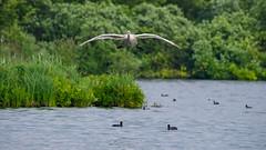 En approche (Alexandre LAVIGNE) Tags: hdpentaxdfa150450mm louisengival pentaxk1 enapproche cygne amerrissage eau foulques juvénile k1 nature oiseau vol étang saintquentin picardiehautsdefrance