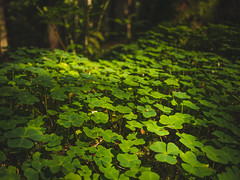 Lucky Forest (Marc Bremus) Tags: fluss grün schwarzwald urlaub wald shamrock trefoil irish forest green luck lucky summer