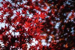 Japanese maple tree (kderricotte) Tags: tree japanesemaple plant depthoffield sony sonya7ii ilce7m2 sel85f18 sonyfe85mm18 bokeh