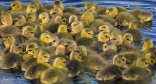 Gaggle of Goslings