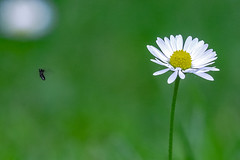 The small, the bold and the tiny (Paul Wrights Reserved) Tags: flower flowers fly flying flyinginsect flight flapping insect insects insectinflight bokeh bokehphotography botanical beautiful beauty tiny small action actionphotography