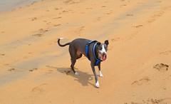 Happy Whippet (R~P~M) Tags: dog canine whippet hound sighthound devon beach coast eastportlemouth england salcombe uk unitedkingdom greatbritain