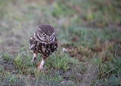 Projct 2018 Little Owl (eric-d at gmx.net) Tags: steinkauz littleowl kauz strigidae owl eric wildlife