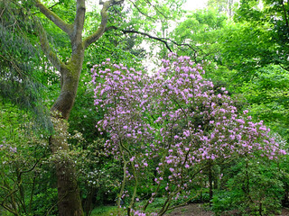 Himmelfahrt 2018, Rhododendron