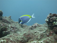 Powder-blue surgeonfish (roger_forster) Tags: powderblue tang surgeonfish maldives northmalé indianocean acanthurusleucosternon underwater sea diving scuba