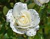 loads of little flies (conall..) Tags: rose rosa iceberg standard standardrose botanic park belfast rosegarden flies petals dalmatian scatopsidae
