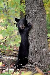 Treehugger (Megan Lorenz) Tags: blackbear bear bearcub cub babyanimals animal mammal nature wild wildlife wildanimals peanutscub ontario canada mlorenz meganlorenz
