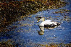 Common Eider 6580 (rayclark1) Tags: animal object plant bird commoneider duck rock seaweed