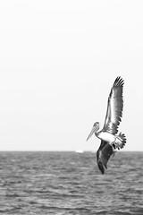 (nicrs) Tags: pelican pelicano wildnature naturaleza centralbeach fortlauderdale unitedstates blackandwhite blancoynegro canon canon80d canon70300isusm