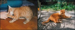 Hiro Protagonist (Sandwood.) Tags: cat tabby ginger kitten young pet outdoors 1990s scan hiro rescue stray oil dirty animal grass playing growingup spotted