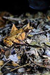 Megophrys nasuta. Bornean horned frog. Kuching. (Phalinn Ooi) Tags: amphibian frog animal the7thinternationalborneanfrograce2018 frogs amphibians anurans wildlife animals flora fauna nature naturalist life jungle rainforest night trees outdoor adventure lundu matang kuching sarawak borneo malaysia asia explore travel wanderlust holiday tour jalan cuti food city town capital building architecture heritage rajahs cafe river landmark scenery beautiful landscape love people photography bokeh macro portrait camera dslr canon eos 5dm4 5dmarkiv mahathir anwar najib sky cloud shop lizard sexy babe lady