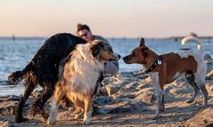 dogs at the beach... (st.weber71) Tags: nikon natur hunde hundefotografie hundeaction tiere strand beach nordsee northsee friesland sonne hundestrandnorddeich norddeich germany animals deutschland meer wasser ozean sea d850 outdoor sand fun