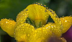 Unfolding petals (lkiraly72) Tags: dew dewdrop yellow morning petals wildflower macro unfolding