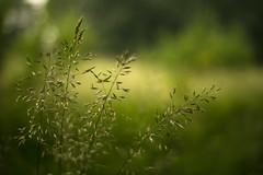 Green Rapsody (VintageLensLover) Tags: grün natur outdoor gras wiese gräser bokeh schärfentiefe schärfeverlauf dof bokehlicious primoplan58mmf19 meyergörlitz vintagelenslover manualfocuslens