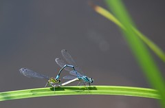 Don't Try This at Home (HansHolt) Tags: coenagrionpuella azuredamselfly azuurwaterjuffer damselfly dragonfly libelle pond vijver leaf blad macro dof canon 6d canoneos6d canonef75300mmf4056