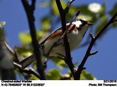 Chestnut-sided Warbler (Bill.Thompson) Tags: chestnutsidedwarbler setophagapensylvanica male me birds