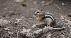 Squirrel!! (Serthra) Tags: canon5dmark4 wildlife animal adorable cute fauna rockies rodent squirrel squirrels groundsquirrel nature spring brown canada banff rockymountains