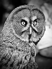 Facial disc (Phancurio) Tags: owl raptor greatgreyowl strixnebulosa birds facialdisc