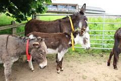 IMG_20180529_122315 (Luna-Woona Moon) Tags: donkeys rescue animals equine devon england