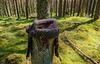 Wood hat (prajpix) Tags: wood woodland forest pinewood plantation pine pines cairngorms highlands scotland invernesshire green understorey verdant trunks hat headwear stump clothing headgear weathered