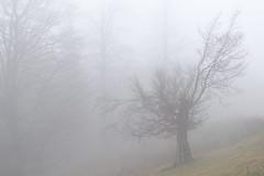 (George Pancescu) Tags: nikon d810 70200mm ciucas massif bratocea forest nature natural outdoor landscape scenery fog mist tree silence ambience