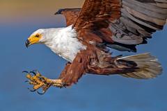 Beauty of The Nature (asifsherazi) Tags: africanfisheagle lakebaringo kenya asifsherazi tumbilicliff wildlife raptor prey action pakistaniwildlifephotographer