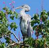 Grey Heron (Colin__Murray) Tags: liverpool uk england merseyside heron bird wildlife tree blue sky leaves sony urban feathers park top