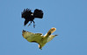 Crow versus Red-tailed Hawk (ctberney) Tags: americancrow corvusbrachyrhynchos redtailedhawk buteojamaicensis birds fighting flying sky battle nature